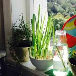 Grow your spring onions!